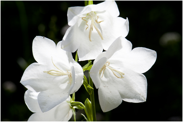 Prachtklokje - Campanula persicifolia