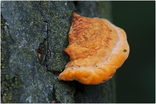 Vermiljoenhoutzwam - Pycnoporus cinnabarinus