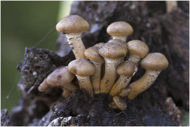 sombere Honingzwam - Armillaria ostoyae