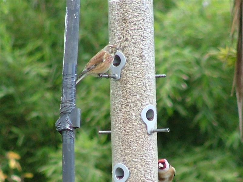Linnet and goldfinch
