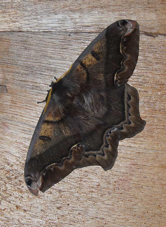 Moth San-Isidro