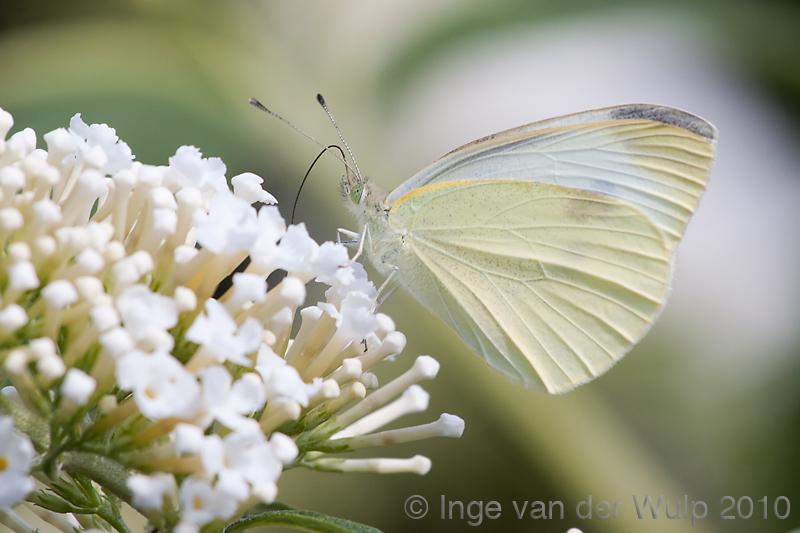 Small White - Klein Koolwitje - Pieris rapae