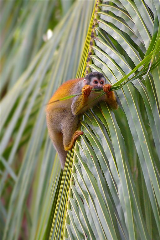 Dont Chew A Branch On Which You Sit ! Hungry Squirrel Monkey, Manuel Antonio National Park