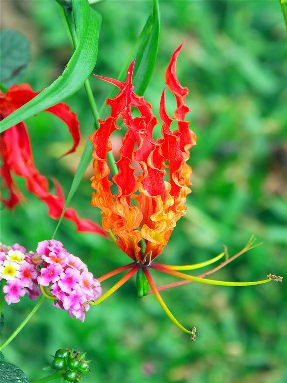 Flame Flower, Poas National Park