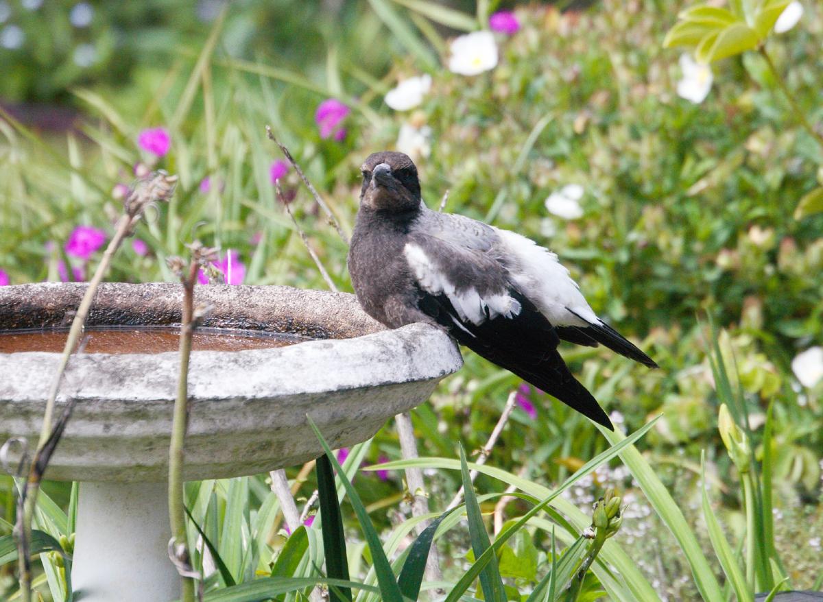 Baby Magpie Bathtime 2r