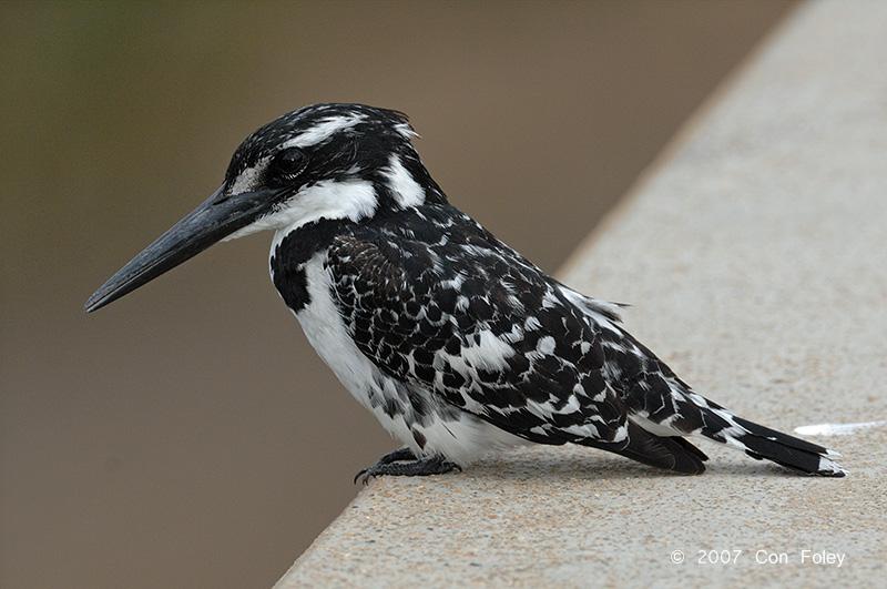 Kingfisher, Pied (female)