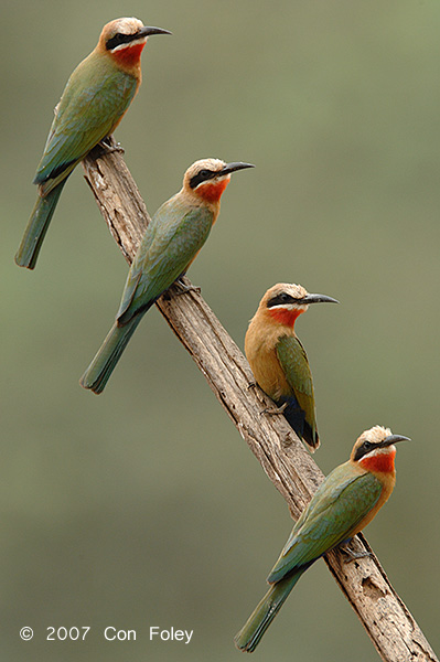 Bee-eater, White-fronted