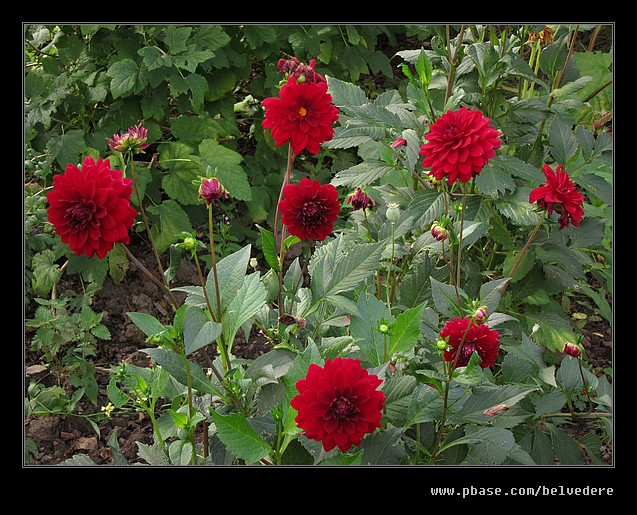 Toll House Dahlias, Black Country Museum