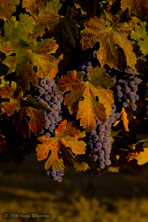 Early Autumn Colors in Napa Valley