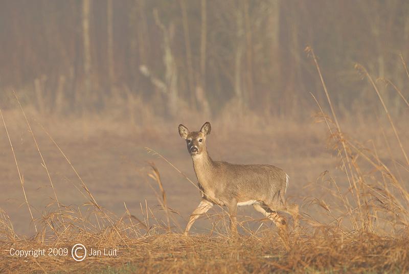 White-tailed Deer - Odocoileus virginianus - Witstaarthert