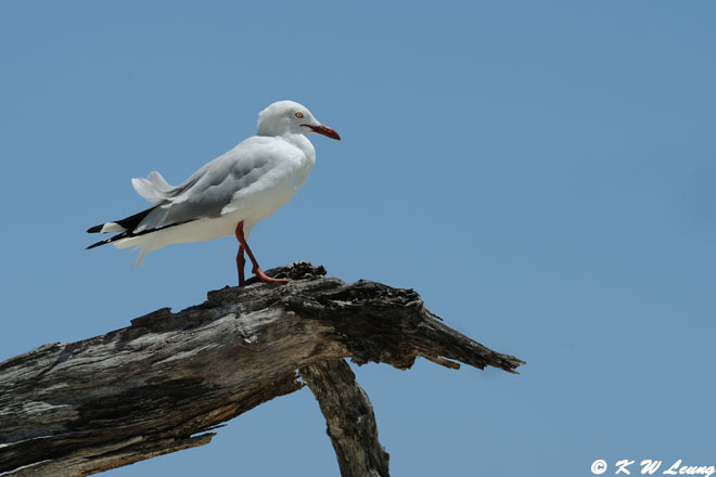 Gull (DSC_4351)