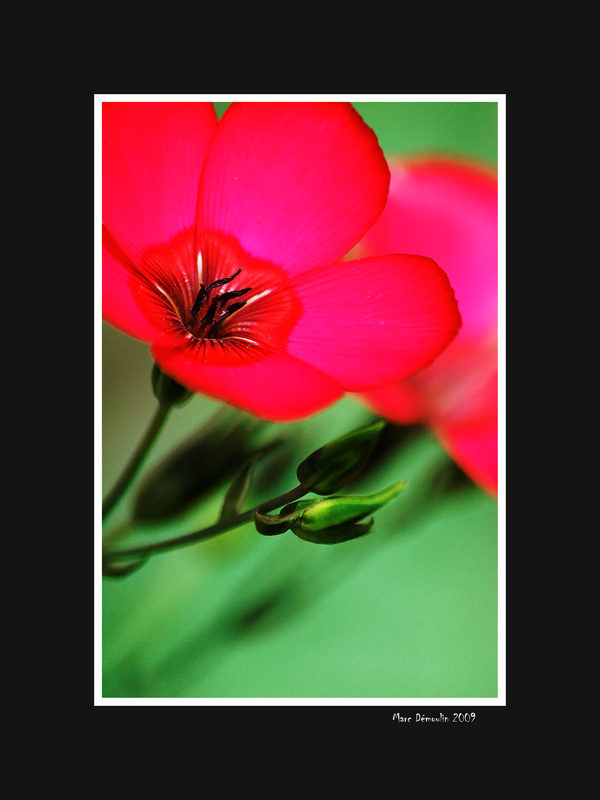 Another kind of red flower