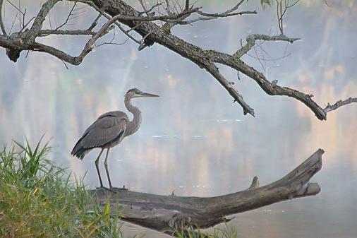 Heron On A Log 20080911