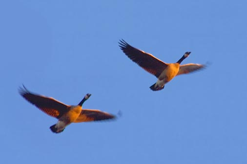 Geese In Flight 22225