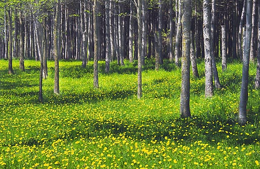 Glade Of Dandelions 48490