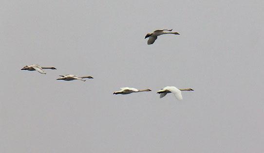 Swans In Flight 21984