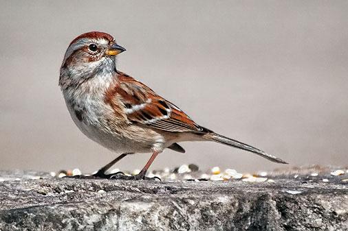 American Tree Sparrow 26278
