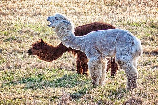 Two Sheared Alpacas 26580