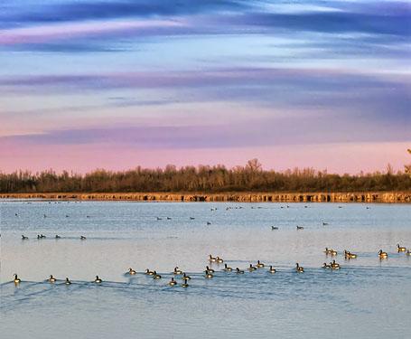 Geese Flotilla At Sunrise 00245,7