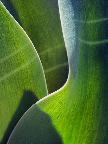 Tulip Leaves DSCF04147