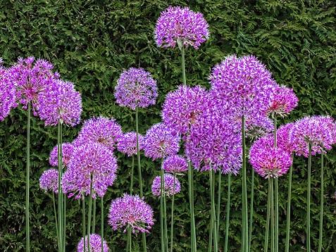 Purple Flowers 00633