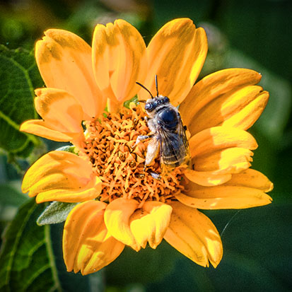 Bee On A Yellow Flower 20120706