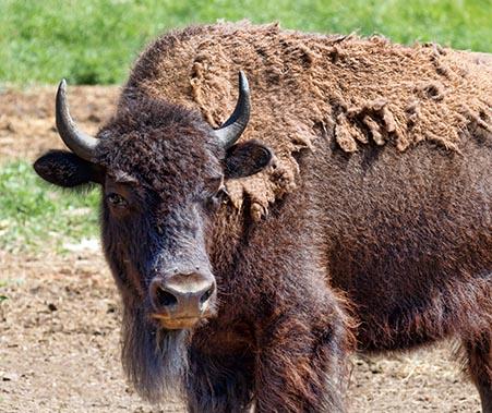 Shedding Bison 24993