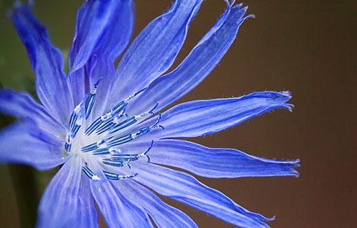 Blue Wildflower 20120810