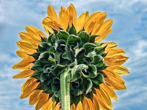 Sunflower Backside 01575