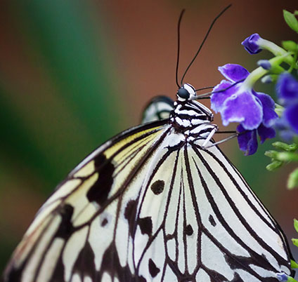Butterfly Sipping Nectar 28022