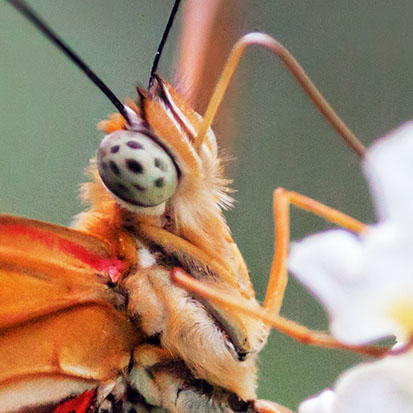 Orange Butterfly 28220 (crop)