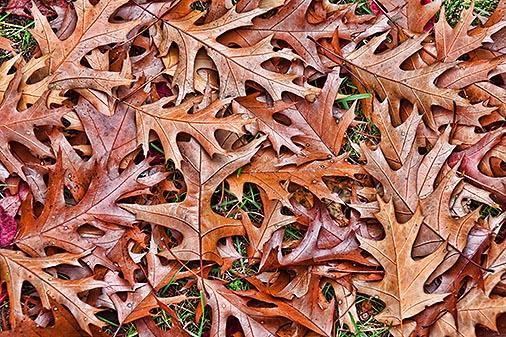 Fallen Oak Leaves 20121027