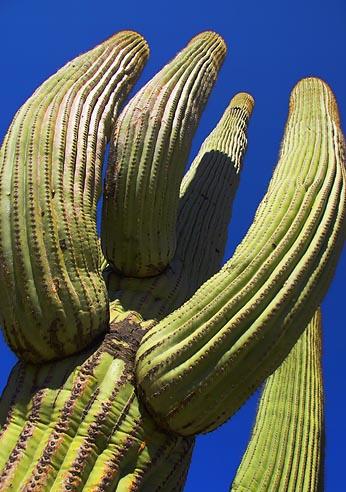 Saguaro Cactus 75564