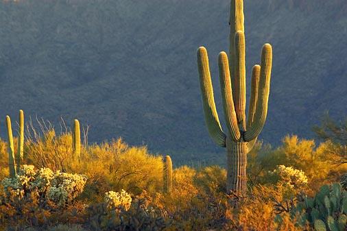 Saguaro At Sunrise 20071206
