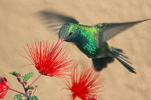 Hummingbird At A Fairy Duster 20080320