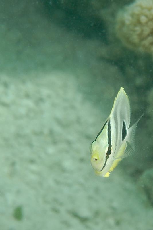 Juvenile Foureye Butterfly Fish