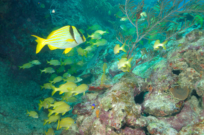 Porkfish with French Grunts