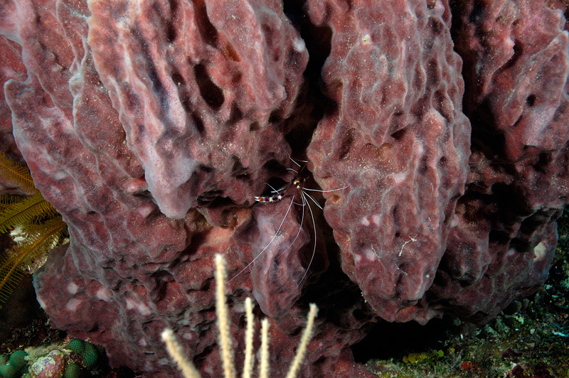 Giant Barrel Sponge with Banded Coral Shrimp