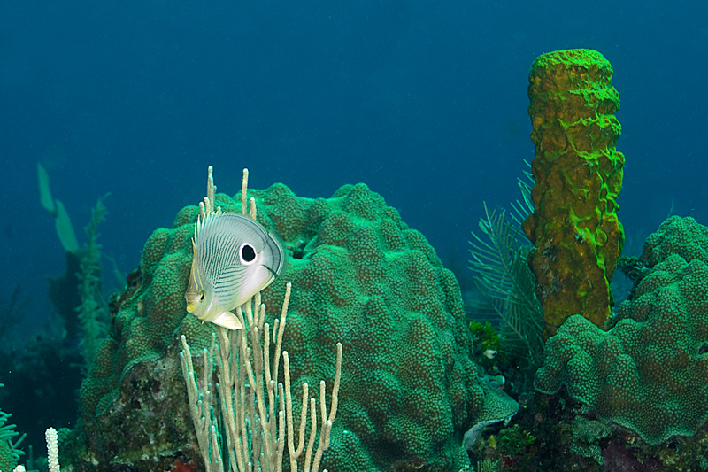 Yellow Tube Sponge with 4 Eyed Butterfly Fish