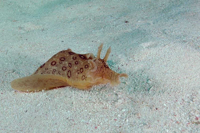 Spotted Sea Hare