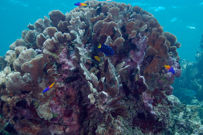 Lettuce Coral with Fairy Basslets and Juvenile Yellow Tailed Damselfish