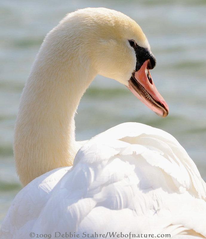 D300-4-28-09-613-Swan.jpg
