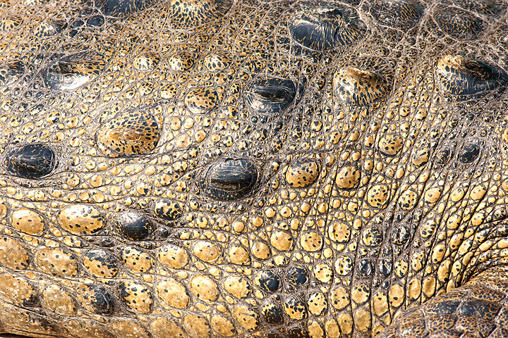 Croc skin