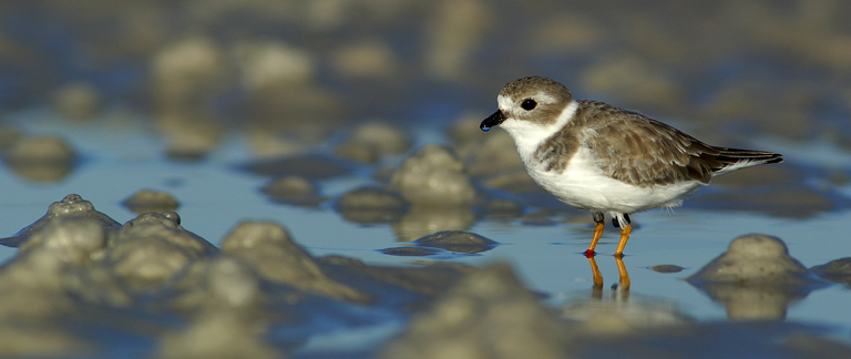Piping Plover on the tidal flats