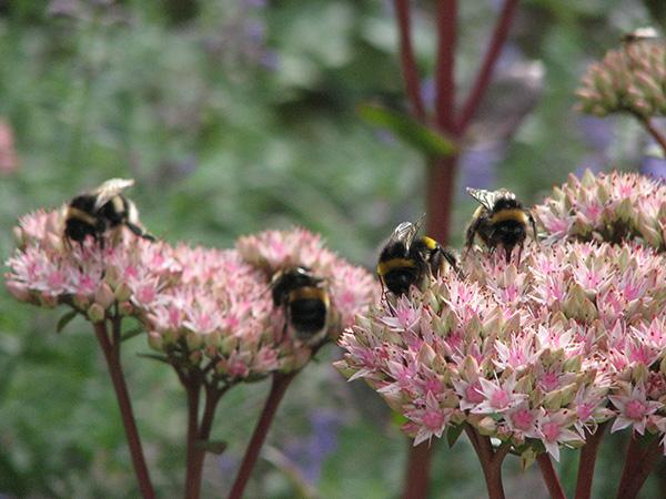 White-tailed bumblebees on Sedum spectabile Purple Emperor