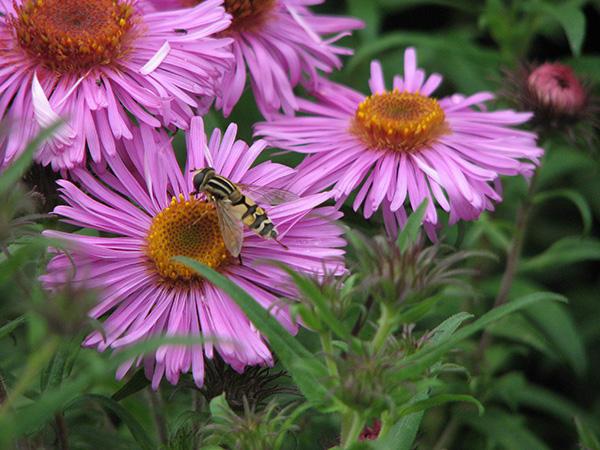 Hoverfly Helophilus trivittatus on Aster novae angliae