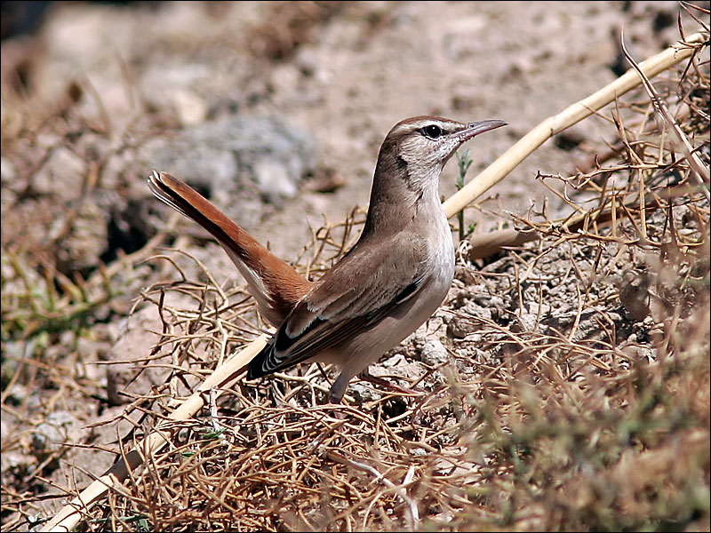 Tr&#228;dn&#228;ktergal<br/>Rufous-tailed Scrub-Robin<br/>(Cercotrichas galactotes)