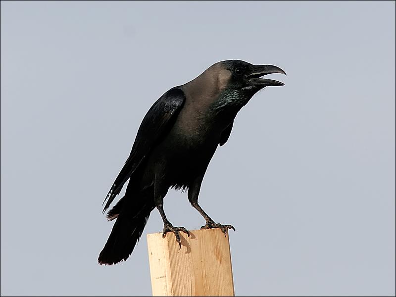 Huskr&#229;ka<br/>House Crow<br/>(Corvus splendens)