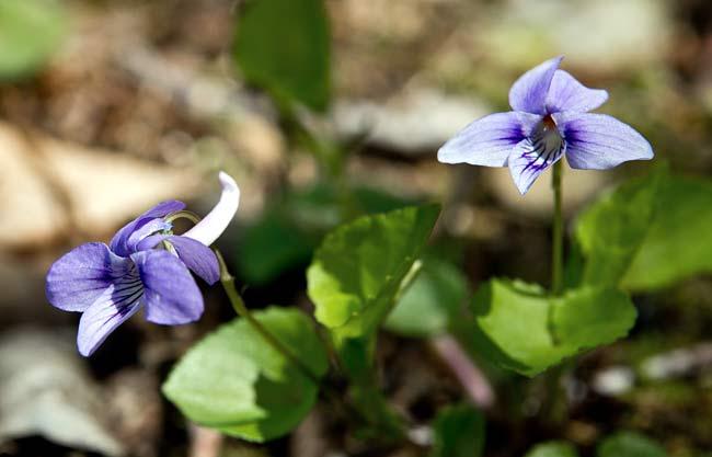 Longspur Violet 2