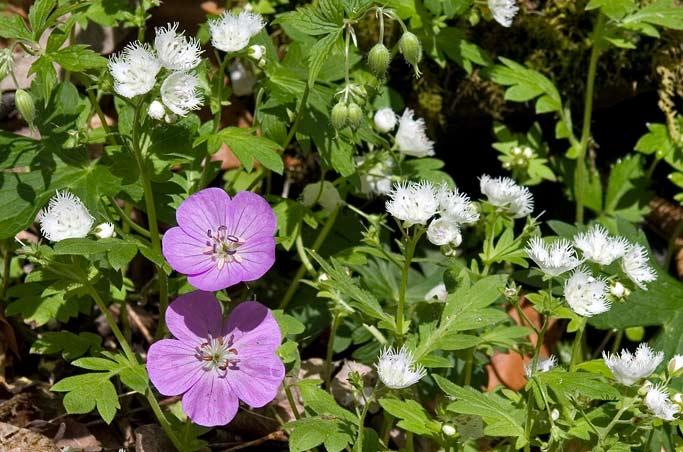 Wild Geranium & Fringed Phacelia